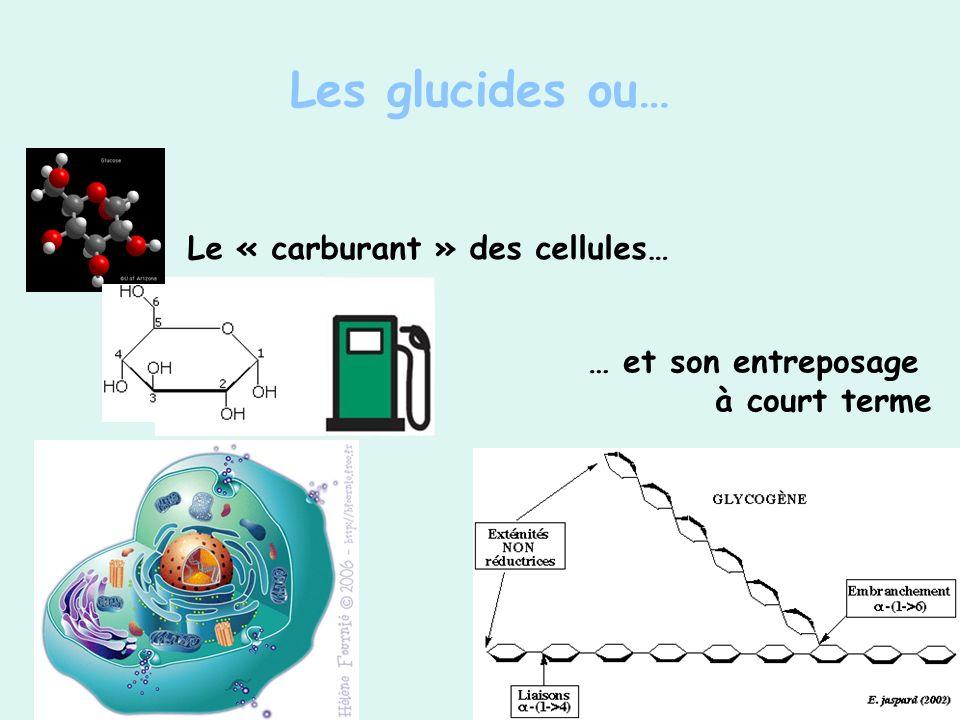 … et son entreposage à court terme Le « carburant » des cellules…