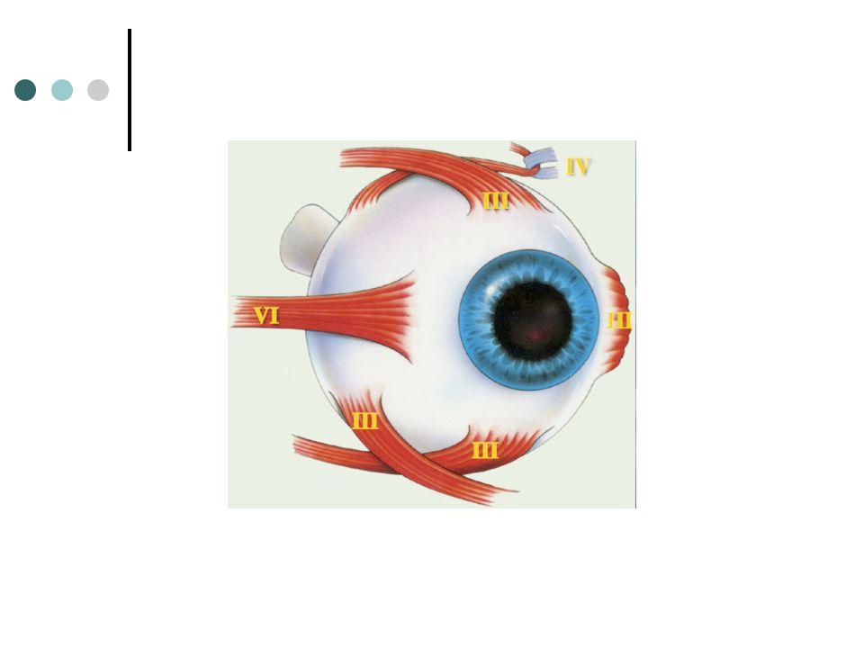 Droit supérieur (III) Laxe visuel forme un angle de 23° avec le plan daction du muscle En position primaire laction du muscle est triple: - élévation - adduction - intorsion Abduction de 23°: laxe visuel est alors dans le plan daction.