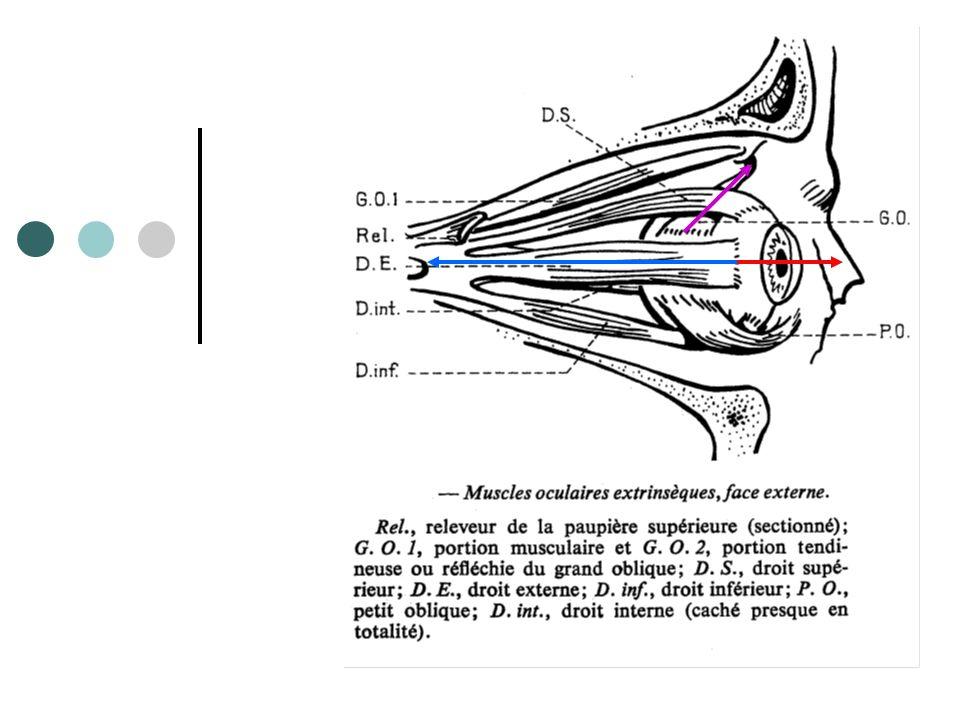 Grand oblique (IV) Oblique supérieur Laxe visuel forme un axe de 51° avec le plan daction du muscle.