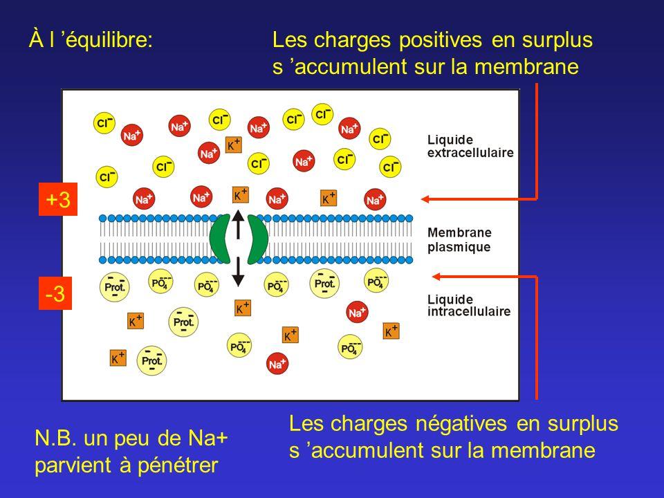 Les charges positives en surplus s accumulent sur la membrane Les charges négatives en surplus s accumulent sur la membrane À l équilibre: N.B. un peu