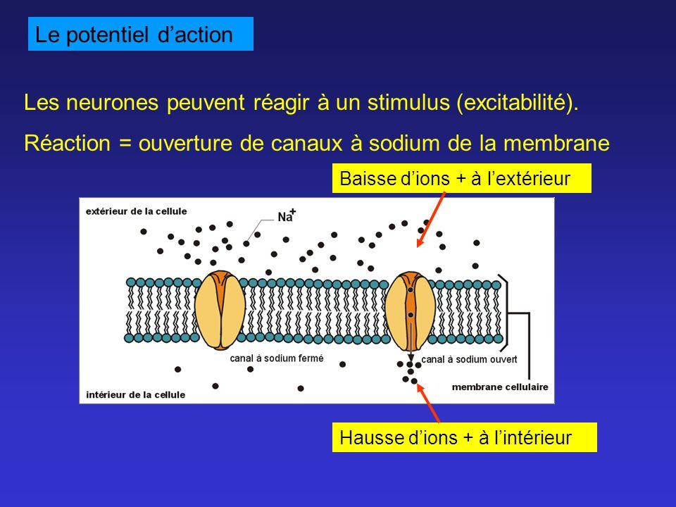 Le potentiel daction Les neurones peuvent réagir à un stimulus (excitabilité). Réaction = ouverture de canaux à sodium de la membrane Baisse dions + à