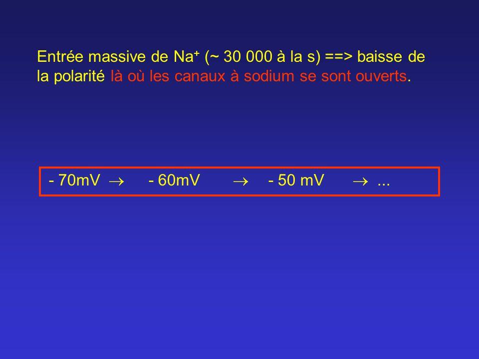 Entrée massive de Na + (~ 30 000 à la s) ==> baisse de la polarité là où les canaux à sodium se sont ouverts. - 70mV - 60mV - 50 mV...