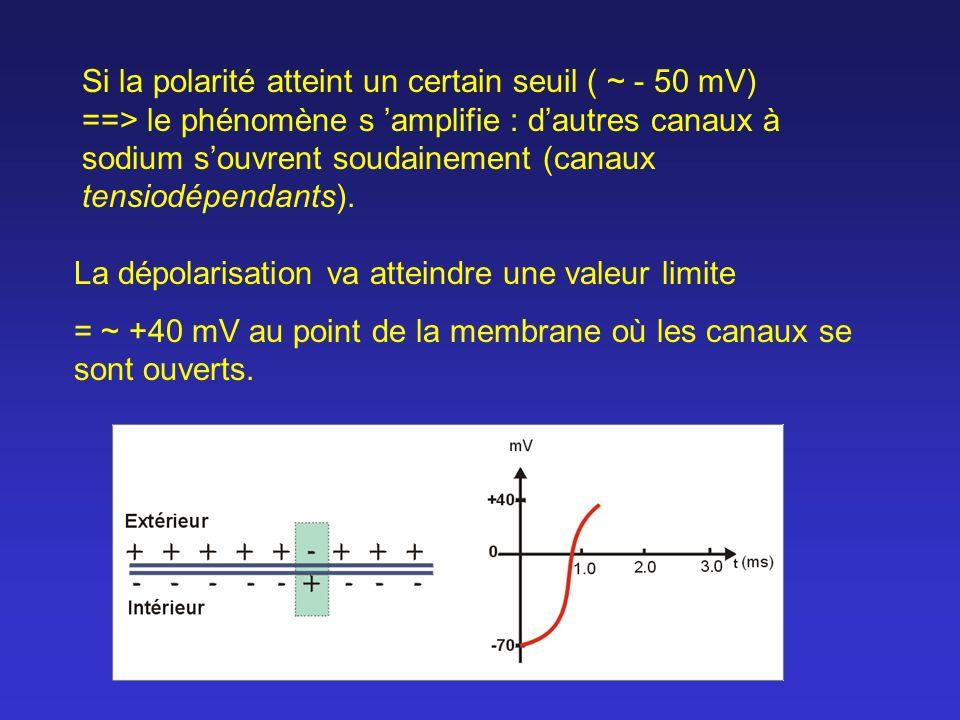 Si la polarité atteint un certain seuil ( ~ - 50 mV) ==> le phénomène s amplifie : dautres canaux à sodium souvrent soudainement (canaux tensiodépenda