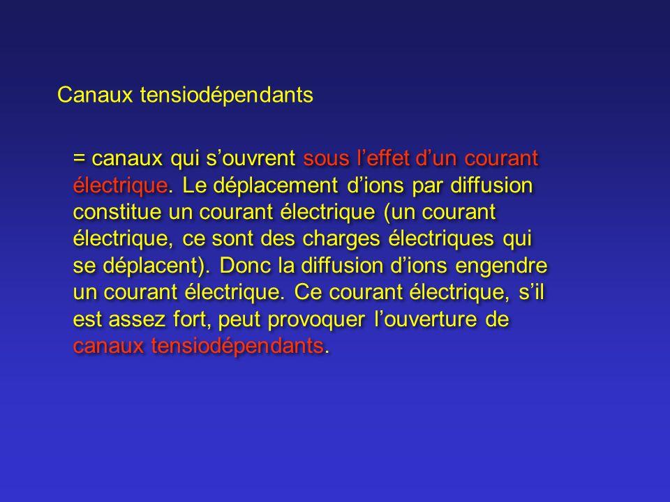 Canaux tensiodépendants = canaux qui souvrent sous leffet dun courant électrique. Le déplacement dions par diffusion constitue un courant électrique (