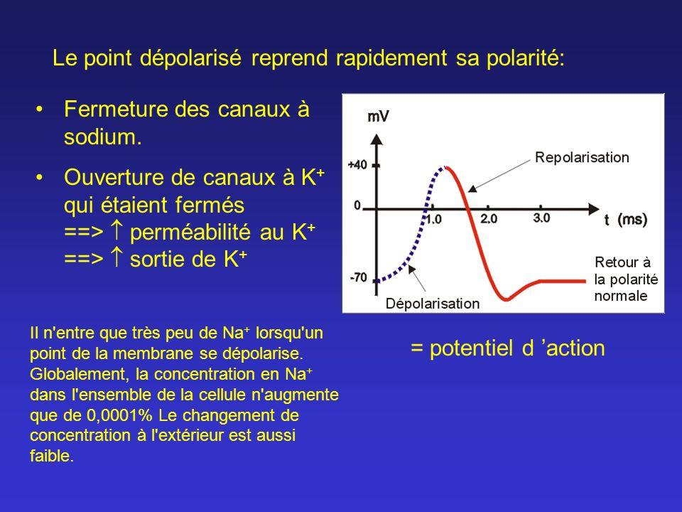 Fermeture des canaux à sodium. Ouverture de canaux à K + qui étaient fermés ==> perméabilité au K + ==> sortie de K + = potentiel d action Le point dé