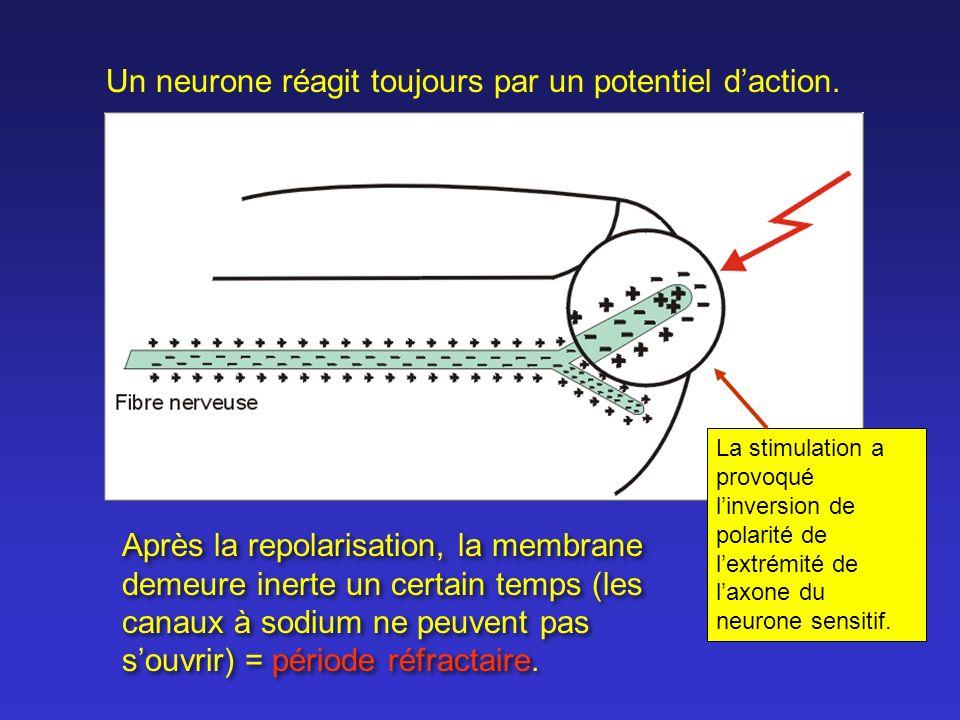 Après la repolarisation, la membrane demeure inerte un certain temps (les canaux à sodium ne peuvent pas souvrir) = période réfractaire. Un neurone ré