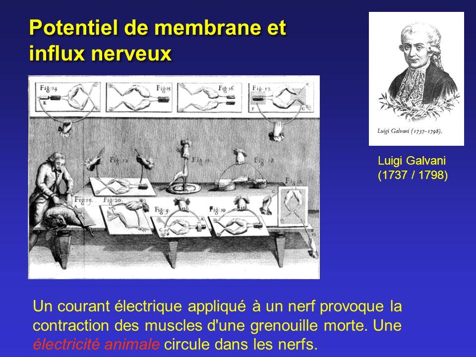 Potentiel de membrane et influx nerveux Luigi Galvani (1737 / 1798) Un courant électrique appliqué à un nerf provoque la contraction des muscles d'une