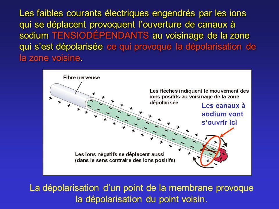 Les canaux à sodium vont souvrir ici Les faibles courants électriques engendrés par les ions qui se déplacent provoquent louverture de canaux à sodium