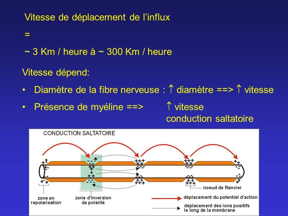 Vitesse de déplacement de linflux = ~ 3 Km / heure à ~ 300 Km / heure Vitesse dépend: Diamètre de la fibre nerveuse : diamètre ==> vitesse Présence de