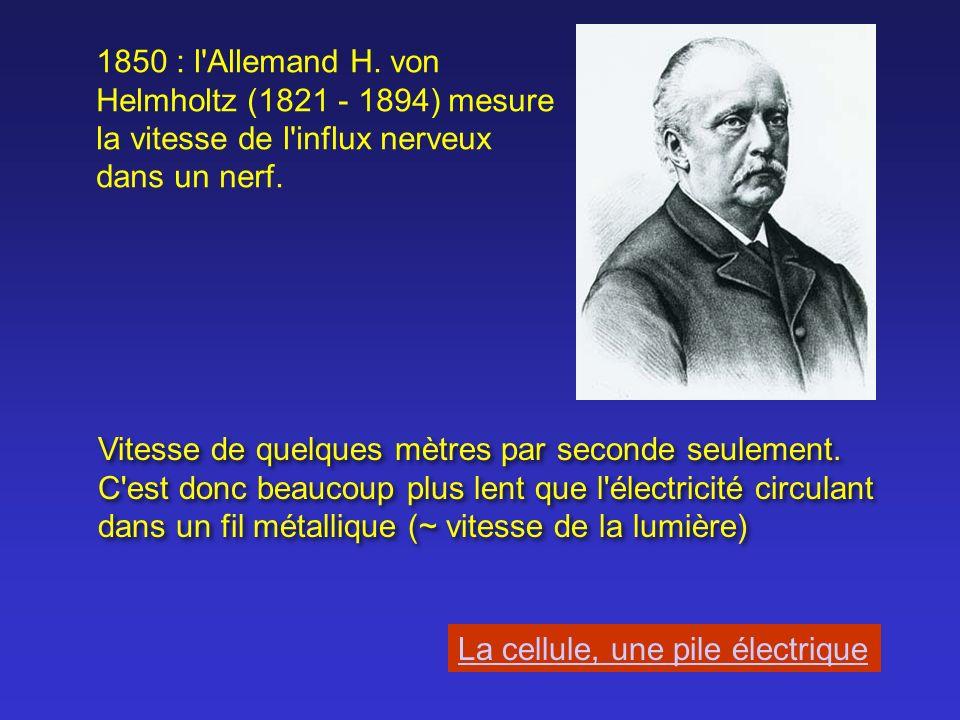 Andrew Fielding Huxley (1917) Alan Hodgkin (1914 - 1998) Expériences sur les neurones géants de calmar à la fin des années 30 et dans les années 40.