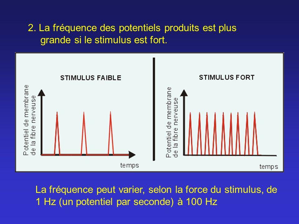 2. La fréquence des potentiels produits est plus grande si le stimulus est fort. La fréquence peut varier, selon la force du stimulus, de 1 Hz (un pot