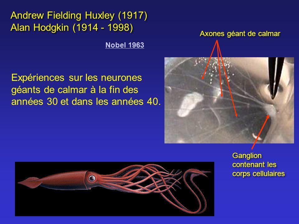 Vitesse de déplacement de linflux = ~ 3 Km / heure à ~ 300 Km / heure Vitesse dépend: Diamètre de la fibre nerveuse : diamètre ==> vitesse Présence de myéline ==> vitesse conduction saltatoire