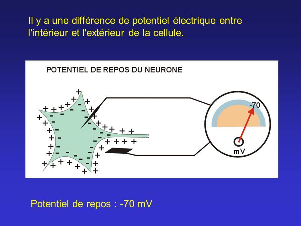 Potentiel de repos : -70 mV Il y a une différence de potentiel électrique entre l'intérieur et l'extérieur de la cellule.