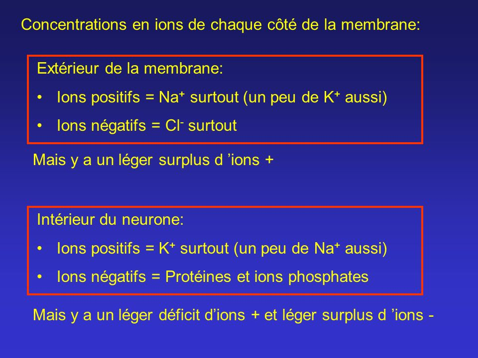 Extérieur de la membrane: Ions positifs = Na + surtout (un peu de K + aussi) Ions négatifs = Cl - surtout Intérieur du neurone: Ions positifs = K + su
