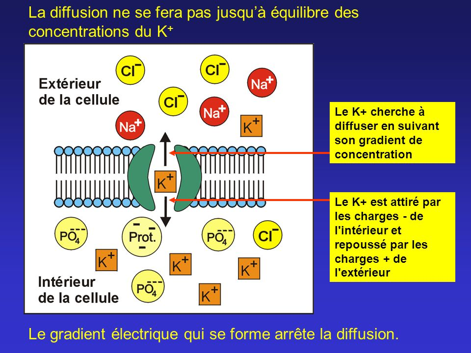 Les charges positives en surplus s accumulent sur la membrane Les charges négatives en surplus s accumulent sur la membrane À l équilibre: N.B.