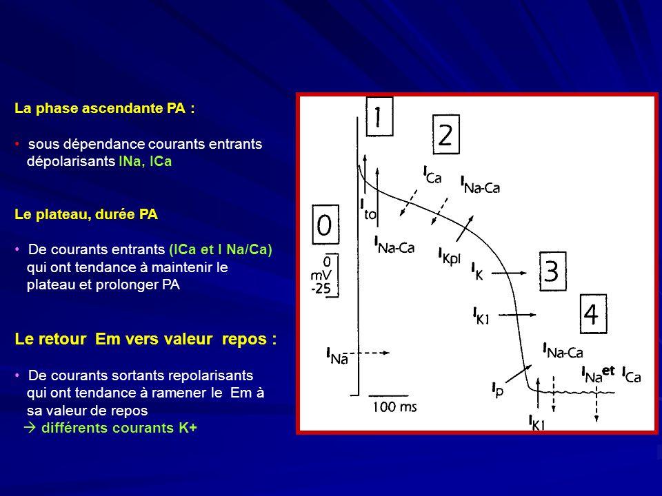 La phase ascendante PA : sous dépendance courants entrants dépolarisants INa, ICa Le plateau, durée PA De courants entrants (ICa et I Na/Ca) qui ont tendance à maintenir le plateau et prolonger PA Le retour Em vers valeur repos : De courants sortants repolarisants qui ont tendance à ramener le Em à sa valeur de repos différents courants K+