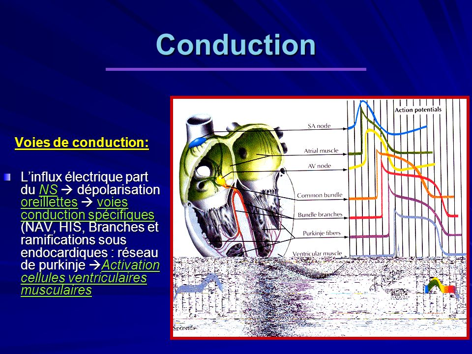 Conduction Voies de conduction: Linflux électrique part du NS dépolarisation oreillettes voies conduction spécifiques (NAV, HIS, Branches et ramifications sous endocardiques : réseau de purkinje Activation cellules ventriculaires musculaires