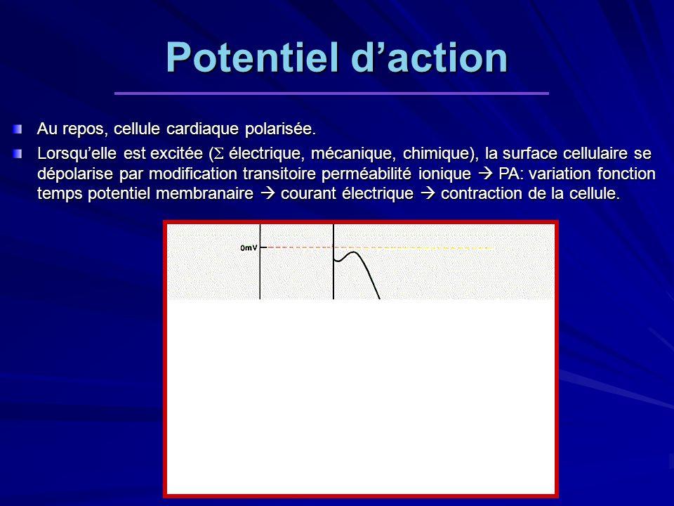 Potentiel daction Au repos, cellule cardiaque polarisée. Lorsquelle est excitée ( électrique, mécanique, chimique), la surface cellulaire se dépolaris