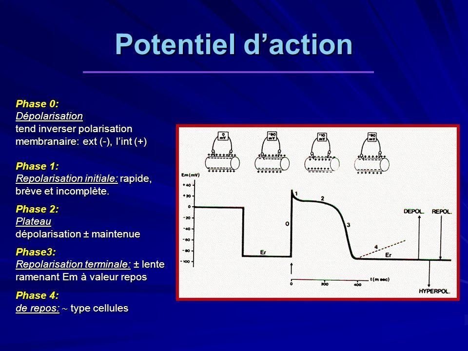 Potentiel daction Phase 0: Dépolarisation tend inverser polarisation membranaire: ext (-), lint (+) Phase 1: Repolarisation initiale: rapide, brève et incomplète.