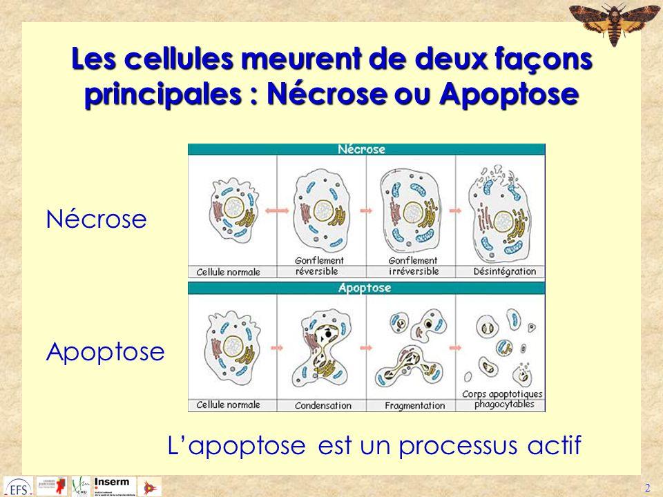 2 Les cellules meurent de deux façons principales : Nécrose ou Apoptose Nécrose Apoptose Lapoptose est un processus actif