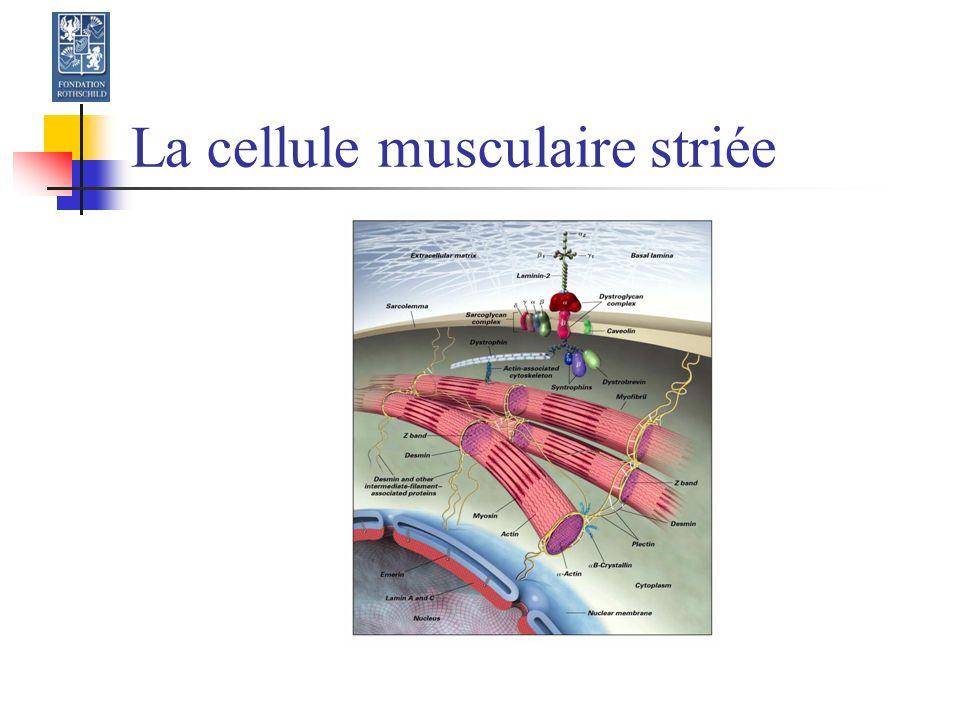 Dérégulation haute du récepteur à l Acétylcholine de la jonction neuromusculaire Syndrome de dénervation par lésion du moto neurone (> 48h) Centrale : intracérébrale, médullaire Périphérique : neuropathie, section nerveuse Lésion musculaire : brûlures, infection Immobilisation prolongée Utilisation prolongée de curares non dépolarisants