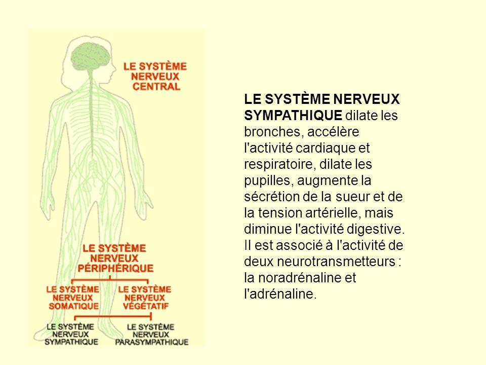LE SYSTÈME NERVEUX SYMPATHIQUE dilate les bronches, accélère l activité cardiaque et respiratoire, dilate les pupilles, augmente la sécrétion de la sueur et de la tension artérielle, mais diminue l activité digestive.