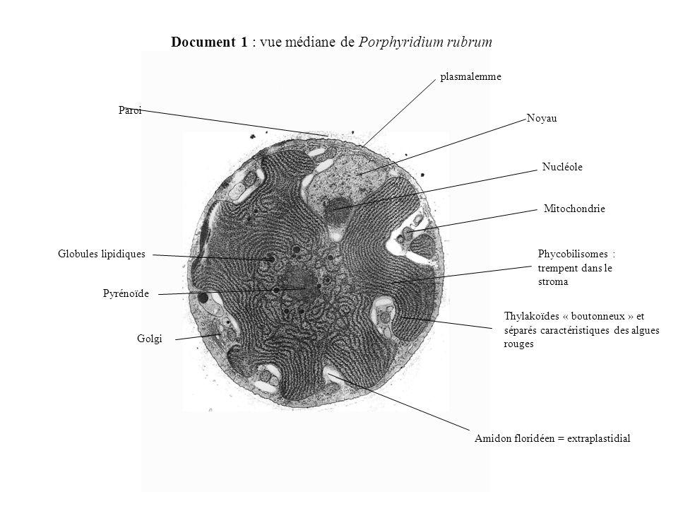 Document 1 : vue médiane de Porphyridium rubrum Amidon floridéen = extraplastidial Thylakoïdes « boutonneux » et séparés caractéristiques des algues rouges Phycobilisomes : trempent dans le stroma Mitochondrie Nucléole Noyau plasmalemme Paroi Globules lipidiques Pyrénoïde Golgi