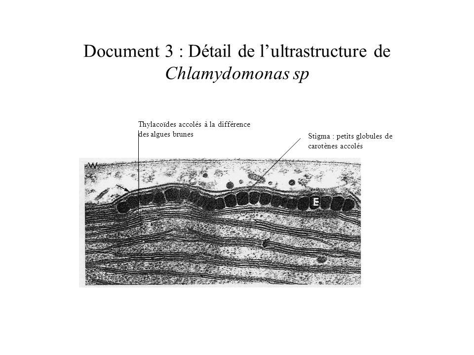 Document 3 : Détail de lultrastructure de Chlamydomonas sp Stigma : petits globules de carotènes accolés Thylacoïdes accolés à la différence des algues brunes