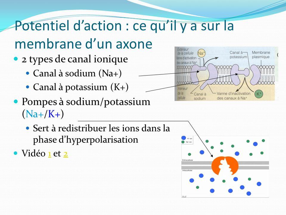 Potentiel daction : ce quil y a sur la membrane dun axone 2 types de canal ionique Canal à sodium (Na+) Canal à potassium (K+) Pompes à sodium/potassi