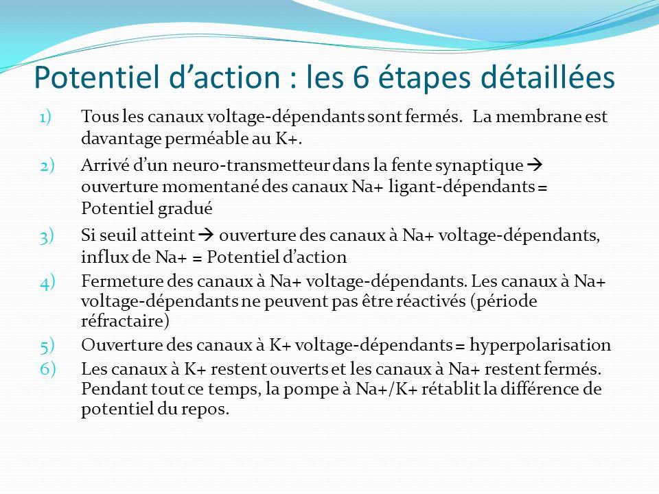 Potentiel daction : les 6 étapes détaillées 1)Tous les canaux voltage-dépendants sont fermés. La membrane est davantage perméable au K+. 2)Arrivé dun