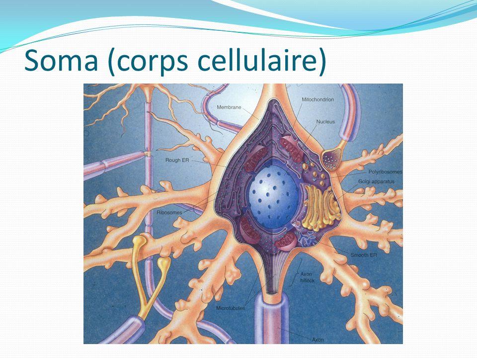 Forme ronde (~20 μm de Ø) Contient un liquide appelé cytosol : Riche en Na + et K + Contient aussi un noyau et des organelles : REG (réticulum endoplasmique granuleux (rugueux)) REL (réticulum endoplasmique lisse) Ribosomes Appareil de Golgi Mitochondries Cytoplasme = tout le soma sans le noyau