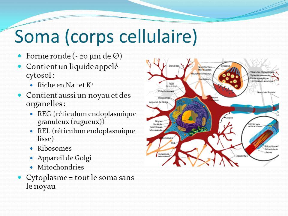 Soma - Rôles Noyau : contient chromosomes ADN REG : synthèse des protéines grâce aux ribosomes qui y sont accrochés REL : régulation des concentrations internes de Ca+ Ribosomes : décodent linfo de lARNm pour permettre la synthèse des protéines Appareil de Golgi : triage des protéines Mitochondries : respiration cellulaire ATP