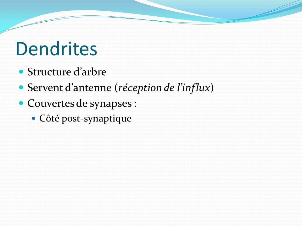 Dendrites Structure darbre Servent dantenne (réception de linflux) Couvertes de synapses : Côté post-synaptique