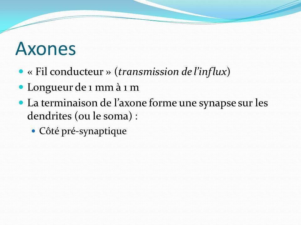 Axones « Fil conducteur » (transmission de linflux) Longueur de 1 mm à 1 m La terminaison de laxone forme une synapse sur les dendrites (ou le soma) :