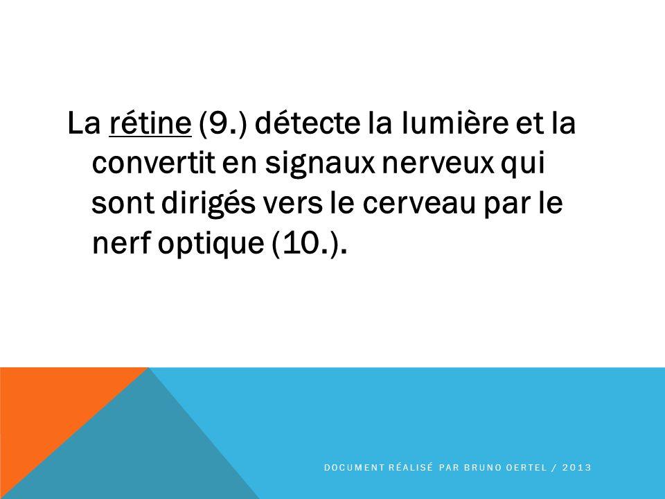 La rétine (9.) détecte la lumière et la convertit en signaux nerveux qui sont dirigés vers le cerveau par le nerf optique (10.). DOCUMENT RÉALISÉ PAR