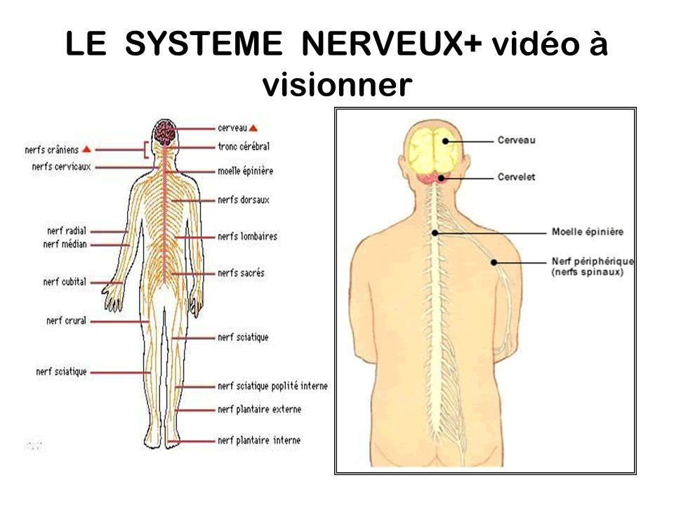 LE SYSTEME NERVEUX+ vidéo à visionner