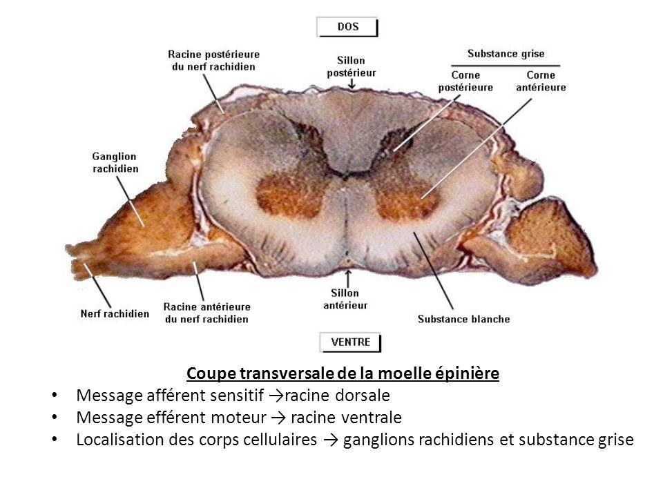 Coupe transversale de la moelle épinière Message afférent sensitif racine dorsale Message efférent moteur racine ventrale Localisation des corps cellulaires ganglions rachidiens et substance grise