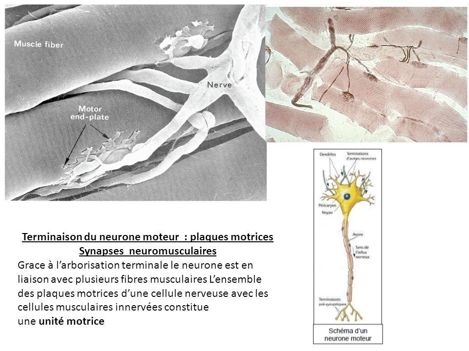 Terminaison du neurone moteur : plaques motrices Synapses neuromusculaires Grace à larborisation terminale le neurone est en liaison avec plusieurs fibres musculaires Lensemble des plaques motrices dune cellule nerveuse avec les cellules musculaires innervées constitue une unité motrice