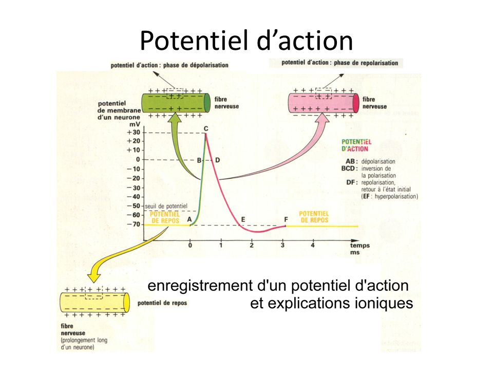 Potentiel daction