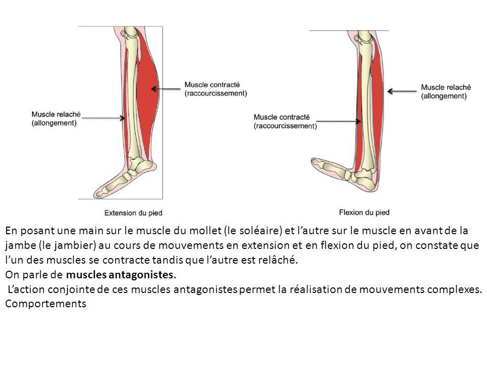 En posant une main sur le muscle du mollet (le soléaire) et lautre sur le muscle en avant de la jambe (le jambier) au cours de mouvements en extension et en flexion du pied, on constate que lun des muscles se contracte tandis que lautre est relâché.