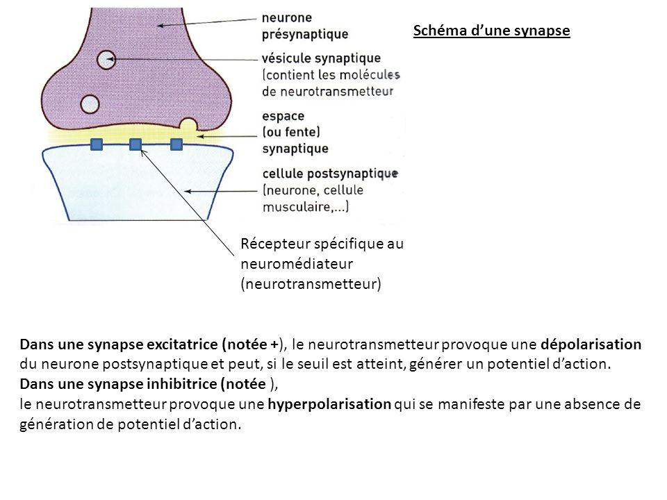 Schéma dune synapse Dans une synapse excitatrice (notée +), le neurotransmetteur provoque une dépolarisation du neurone postsynaptique et peut, si le seuil est atteint, générer un potentiel daction.