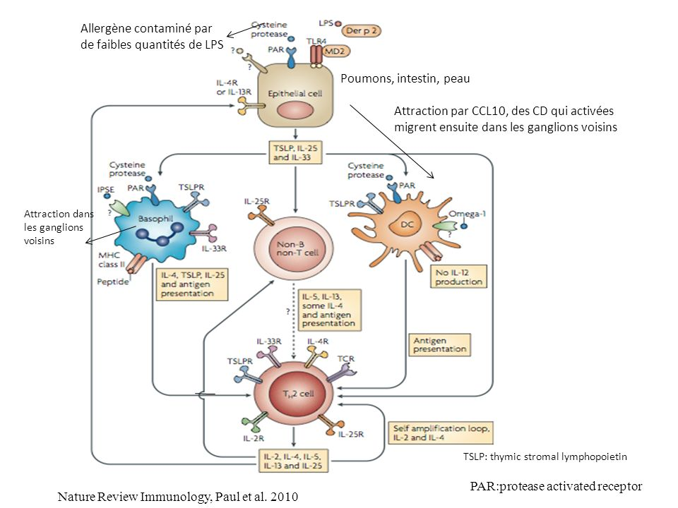 Nature Review Immunology, Paul et al. 2010 Poumons, intestin, peau Allergène contaminé par de faibles quantités de LPS Attraction par CCL10, des CD qu