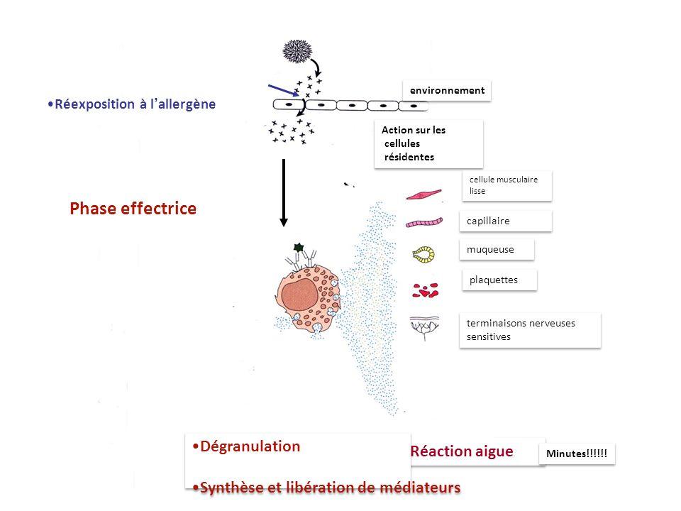 environnement Réaction aigue Minutes!!!!!! Phase effectrice Action sur les cellules résidentes Action sur les cellules résidentes cellule musculaire l