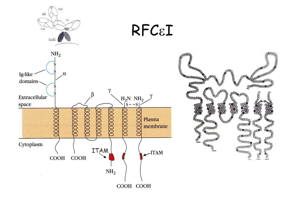 RFcγIIA et RFcγIIC : motifs ITAM RFCγIIB1 et 2 : motifs ITIM suppriment les signaux transmis par RFc I et RFc IIA et C RFcγIIA et RFcγIIC : motifs ITAM RFCγIIB1 et 2 : motifs ITIM suppriment les signaux transmis par RFc I et RFc IIA et C Mastocyte Basophile Récepteurs du Fc des IgG: RFC II IgG3>IgG1>IgG2>IgG4 complexées à lag