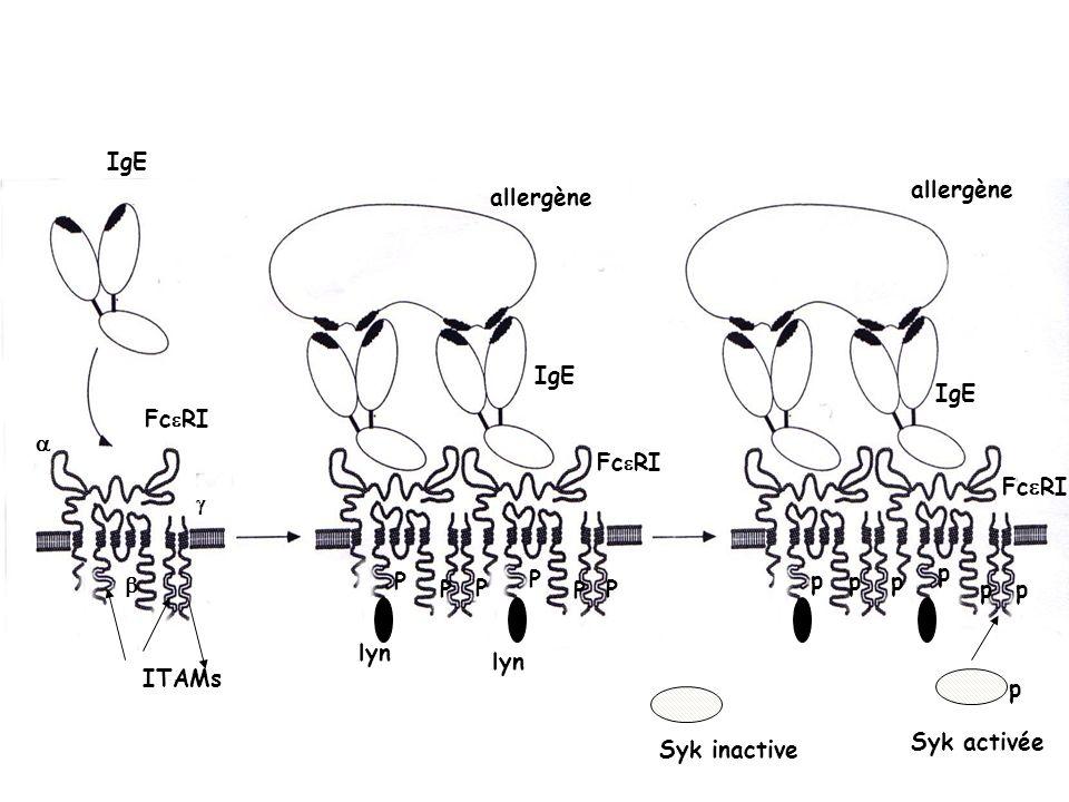 ANTI-IgE : Injection SC toutes les 2 à 4 semaines Dose dépend du taux dIgE sériques, ainsi que du poids du patient Ac monoclonal humanisé se fixant de manière sélective sur la partie constante des IgE humaines libres ( masquée quand lIgE est fixée sur son récepteur) Omalizumab (Xolair ® ) Indication: traitement additionnel chez les sujets atteints dasthme allergique persistant sévère mal contrôlé Médicament dexception