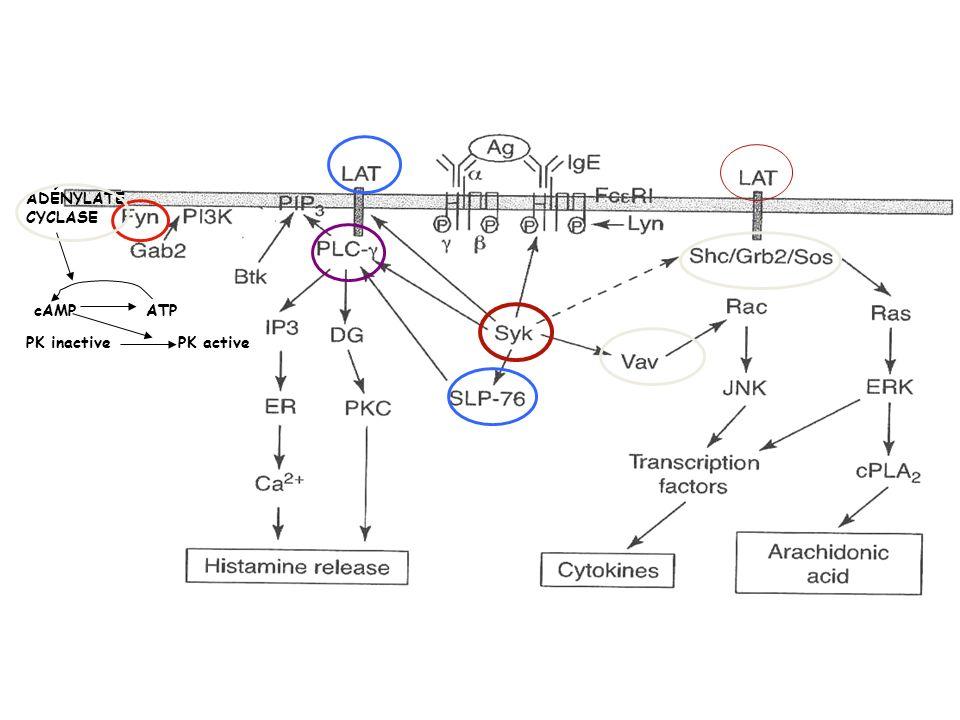 Les mastocytes Médiateurs : -histamine -protéases : tryptases et chymases, sérine estérases -médiateurs lipidiques: leucotriènes: LTB4 (cible les neutrophiles et les progéniteurs des mastocytes), LTC4 (sécrétion de mucus et délectrolytes, constriction des muscle lisses, stimulation des terminaisons nerveuses PGD2, E2 (proinflammatoires), PAF -cytokines : IL-4, IL-13 (amplifient la réponse Th2), IL-3, IL-5, GM-CSF (recrutement et activation des éosinophiles), TNF-, chemokines (inflammation) IL-3, 4, 9 et SCF (stem cell factor)