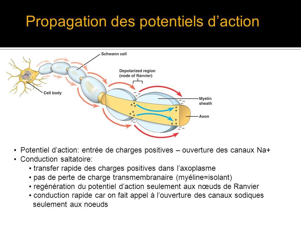 Propagation des potentiels daction Potentiel daction: entrée de charges positives – ouverture des canaux Na+ Conduction saltatoire: transfer rapide de