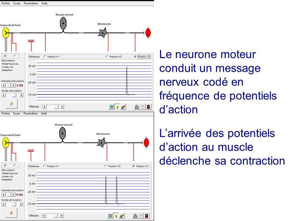 Le neurone moteur conduit un message nerveux codé en fréquence de potentiels daction Larrivée des potentiels daction au muscle déclenche sa contractio