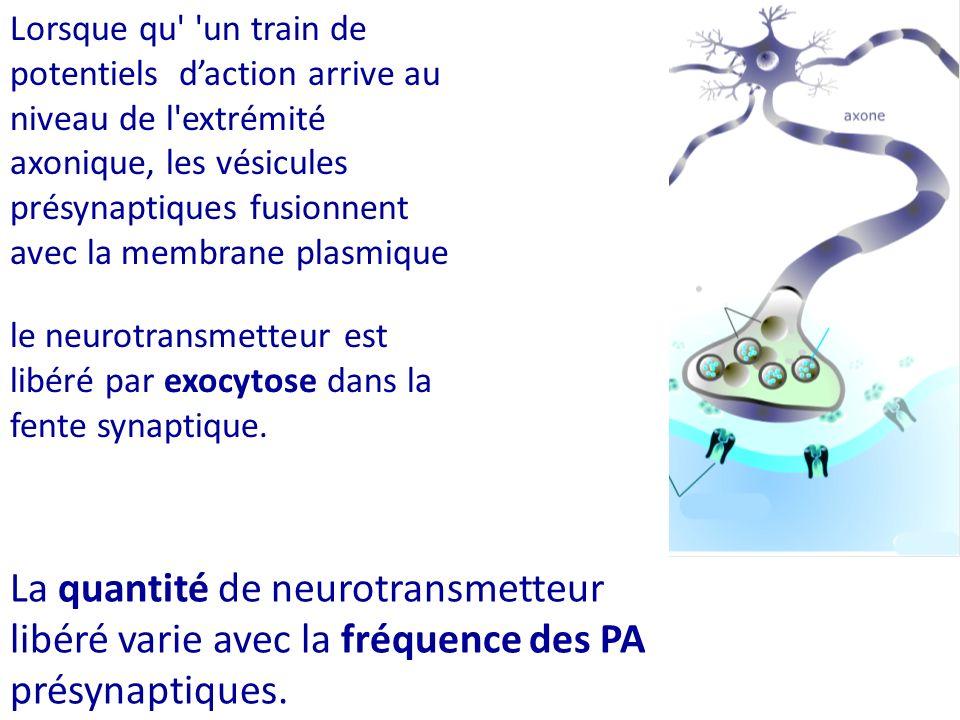 Lorsque qu' 'un train de potentiels daction arrive au niveau de l'extrémité axonique, les vésicules présynaptiques fusionnent avec la membrane plasmiq