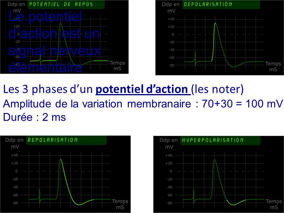 Les 3 phases dun potentiel daction (les noter) Amplitude de la variation membranaire : 70+30 = 100 mV Durée : 2 ms Le potentiel daction est un signal